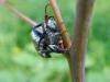 Mehliger Laubkäfer (Hoplia farinosa)  - nach kurzem Regen sehr aktiv auf Waldgeißbart