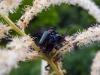 Bockkäfer bei der Paarung - nach kurzem Regen sehr aktiv auf Waldgeißbart