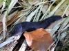 Schwarzer Schnegel - Limax cinereoniger - der Sonne entfliehend