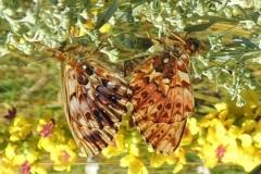 Natternkopf-Perlmuttfalter - Paarung
