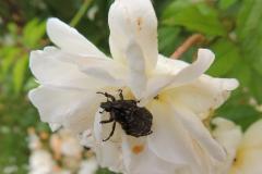 Blütenkäfer