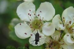 Stachelkäfer