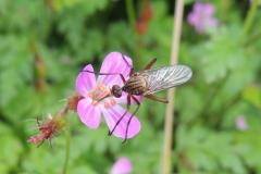 Fliege auf Storchschnabel