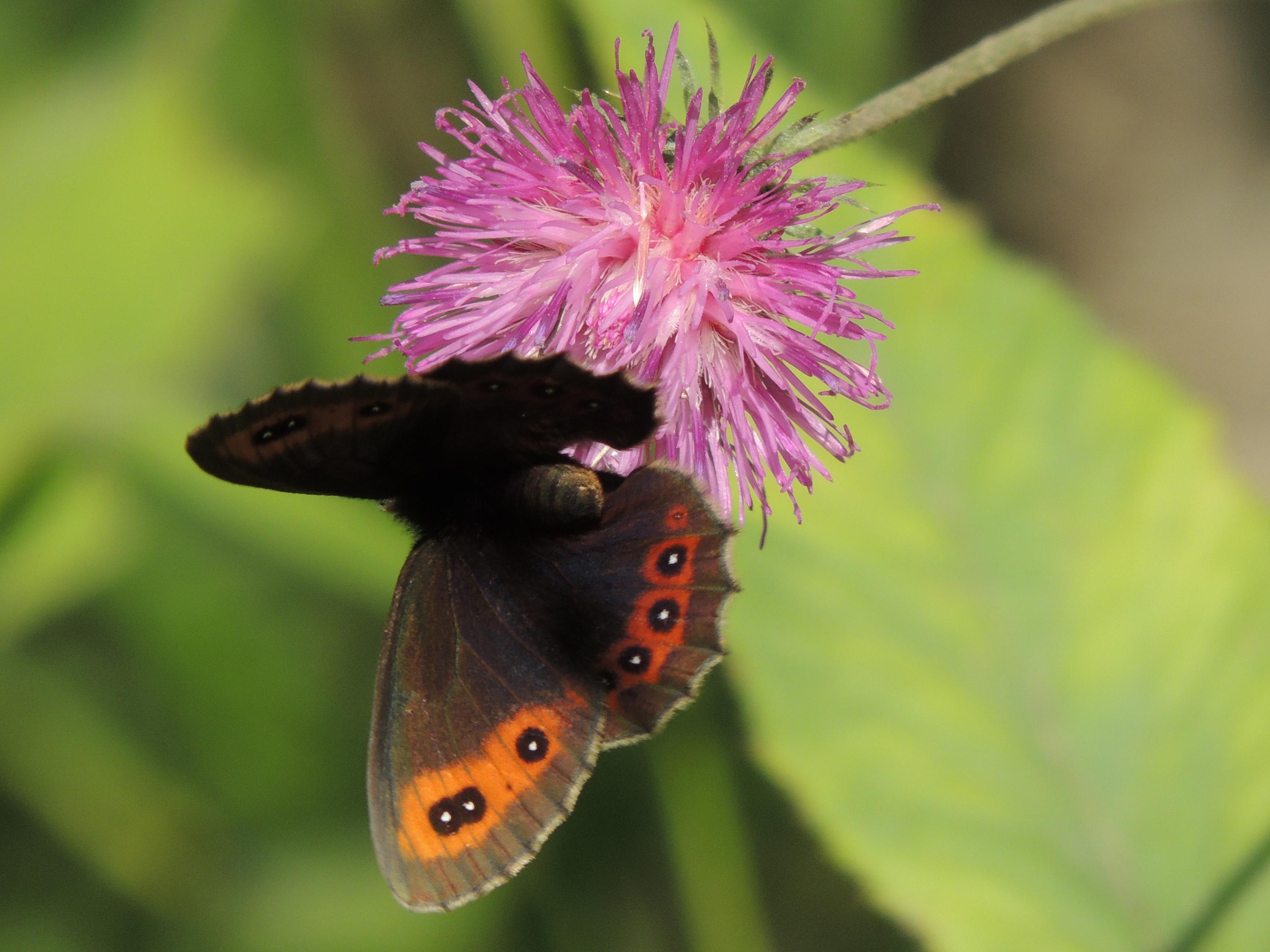 Mohrenfalter - Erebia ligea