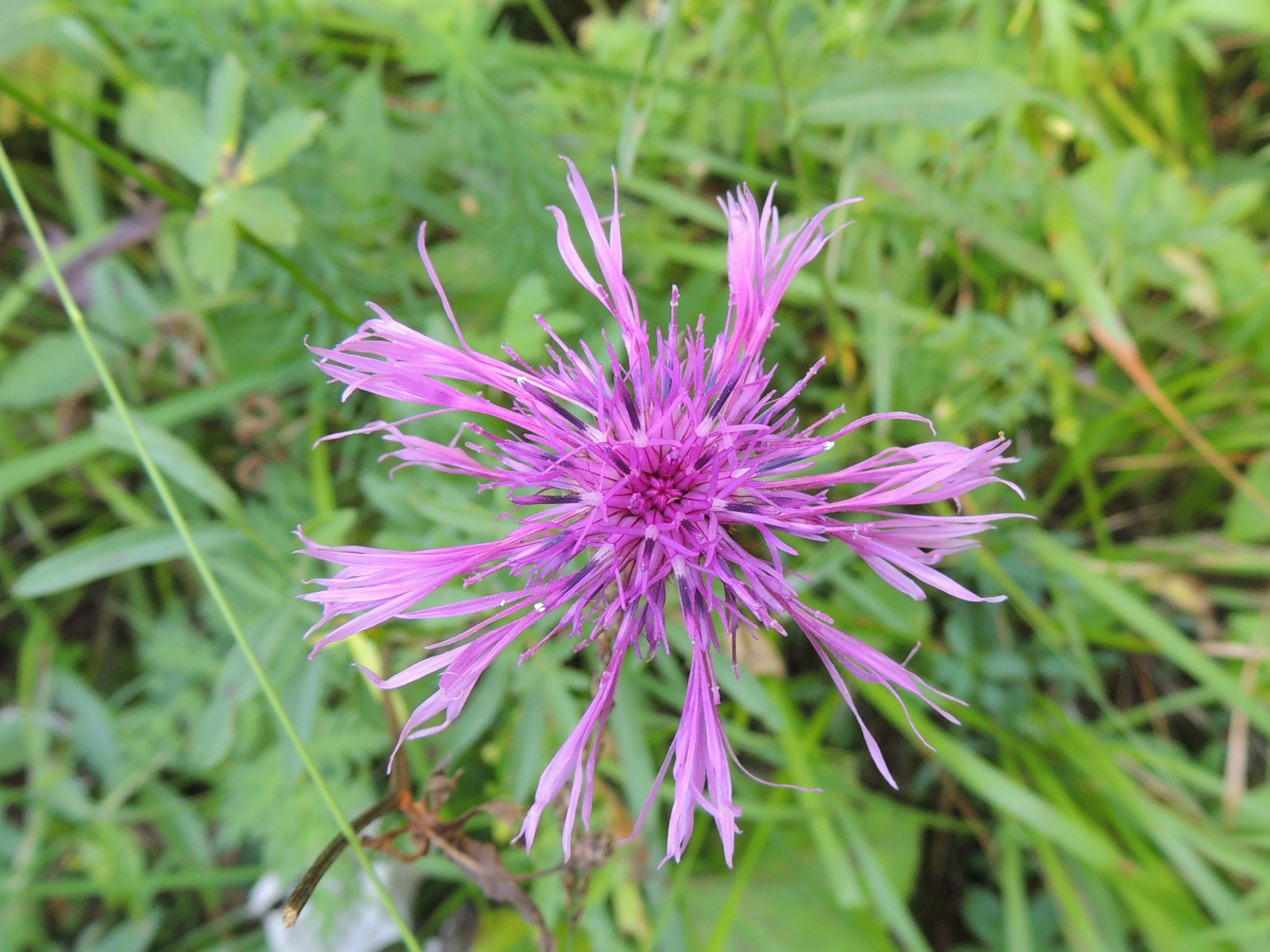 Flockenblume - Centaurea