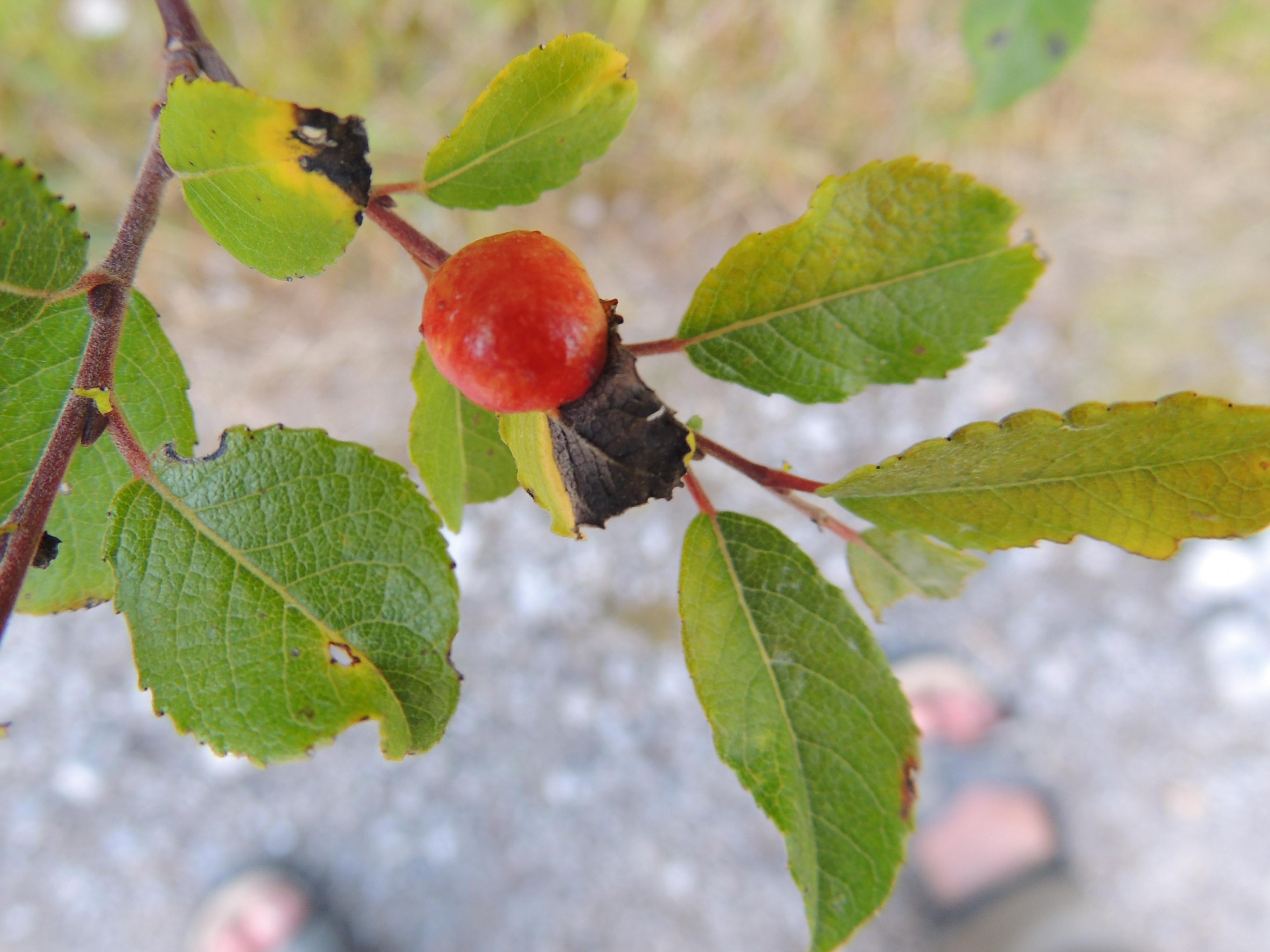 Galle an Weide - Salix