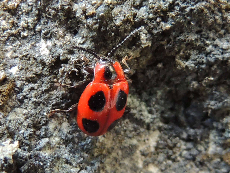 Scharlachroter Stäublingskäfer - Endomychus coccineus