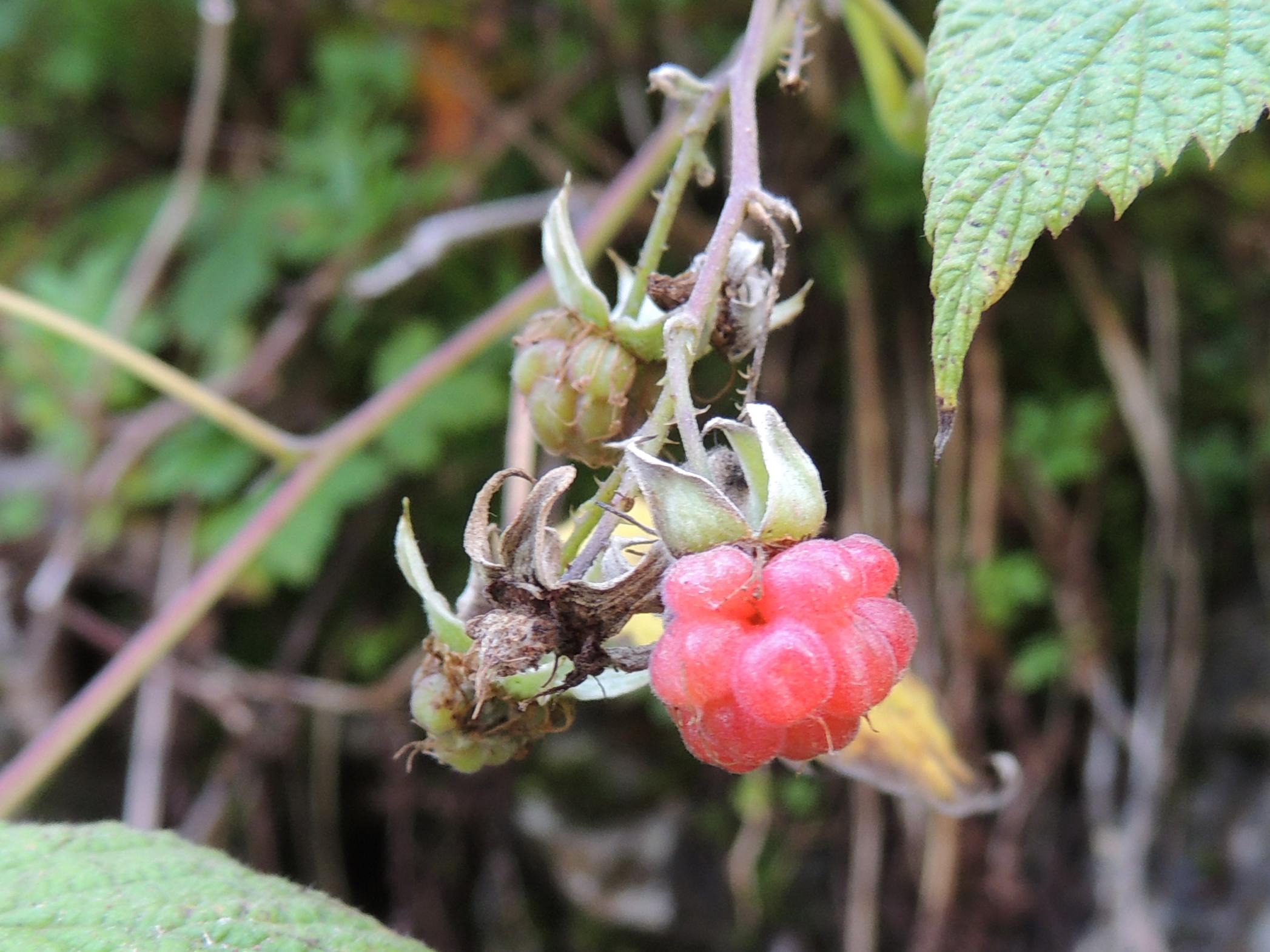 Himbeere - Rubus