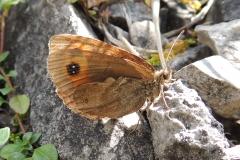 Mohrenfalter - Erebia