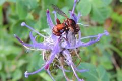 Fliege (?) auf Teufelskralle