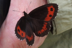 Mohrenfalter - Erebia euryale/aethiops