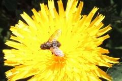 Fliege auf Korbblütler