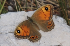 Braunauge - Lasiommata maera