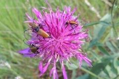 Distel mit Käfern
