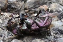 Toter Rosenkäfer wird von Ameisen zerteilt