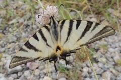 Segelfalter - Iphiclides podalirius