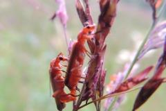 Weichkäfer bei der Paarung (Rhagonycha fulva)