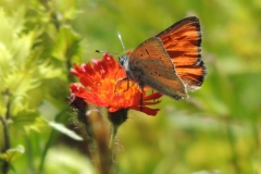 Lilagold-Feuerfalter - Lycaena hippothoe