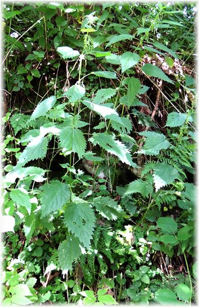 Futterpflanze der Raupe des Tagpfauenauges: die Brennnessel