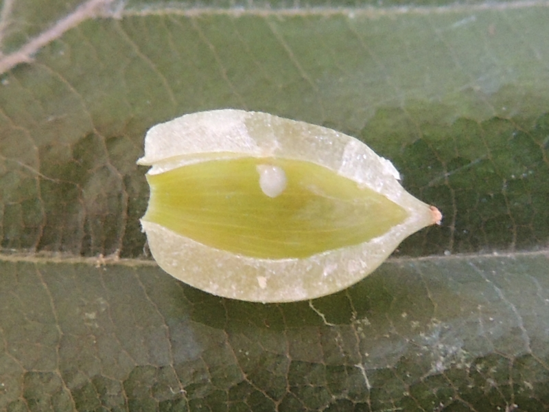 Mikiola fagi - Buchengallmücke
