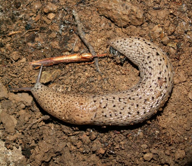 Limax polipunctatus - Malachelix