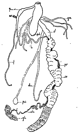 tacheo-genital
