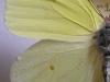 Gonepteryx farinosa - Türkei: Alanya