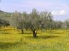 Apulien - klassisches Land für Oliven - © Clemens M. Brandstetter