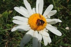 Fliege auf Margerite