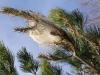 Prozessionsspinner Larven-Nest