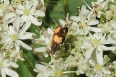 Kleinschmetterling - Pammene aurana, Tortricidae