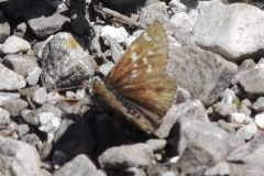 Graumelierter Alpen-Würfel-Dickkopffalter - Pyrgus andromedae