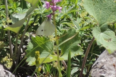 Knabenkraut mit Kleinem Kohlweissling - Orchis