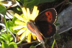 Mohrenfalter - Erebia euryale