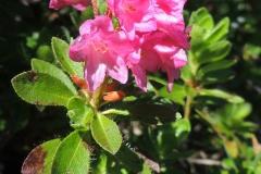 Almrausch - Bewimperte Alpenrose - Rhododendron hirsutum