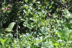 Gelber Eisenhut - Wolfs-Eisenhut - Aconitum lycoctonum