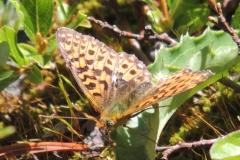 Silberfleck-Perlmuttfalter - Clossiana euphrosyne