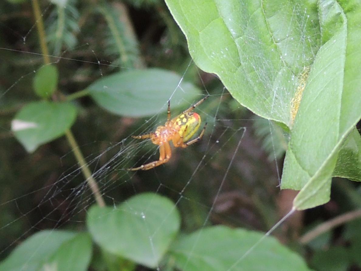 Spinne der Gattung Araniella