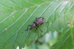 Rüsselkäfer Otiorhynchus
