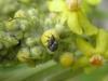 Rüsselkäfer auf Königskerze