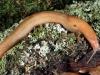 Limax corsicus - Foto: Gerhard Falkner