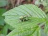 Mottakopf-Wanderung: Rüsselkäfer