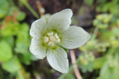Sumpf-Herzblatt - Parnassia palustris