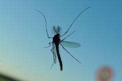 Mücke von unten gesehen