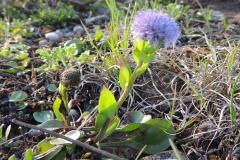 Herzblättrige Kugelblume - G. cordifolia