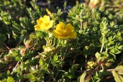 Gelbes Sonnenröschen - H. nummularium