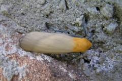 Val Serenaia: Vierpunkt-Flechtenbärchen- Lithosia quadra