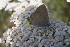 Orechiella: Brauner Eichenzipfelfalter - Satyrium ilicis