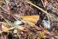 Braunkolbiger Dickkopffalter - Thymelicus sylvestris