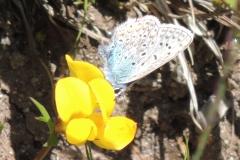 Hauhechel-Bläuling - Polyommatus icarus